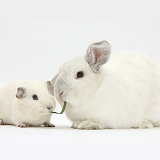 White Guinea pig and white rabbit sharing a blade of grass