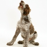 Brown Roan Italian Spinone pup howling