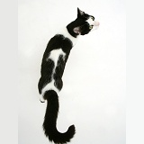 Black-and-white cat walking, viewed from above