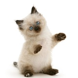 Birman-cross kitten, reaching up