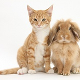 Ginger kitten with Sandy Lionhead-cross rabbit