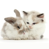Colourpoint kitten with baby rabbit