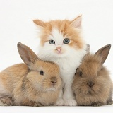 Ginger-and-white kitten baby rabbits