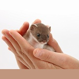 Baby stoat in hands