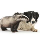 Young Badger and black-and-white Border Collie