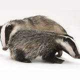 Two playful young Badgers