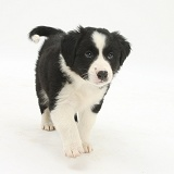 Black-and-white Border Collie pup, 6 weeks old, walking