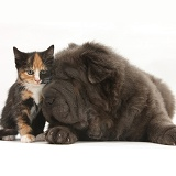 Blue Bearcoat Shar Pei pup and tortoiseshell kitten