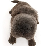 Blue Bearcoat Shar Pei pup