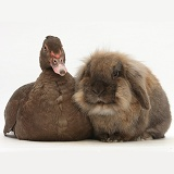 Chocolate Muscovy Duck and Lionhead-cross rabbit