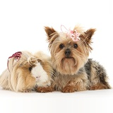 Yorkie and Guinea pig with bows in their hair