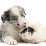 Merle Border Collie puppy and Guinea pig
