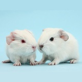 New white baby Guinea pigs on blue background