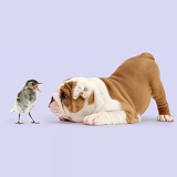 Playful Bulldog pup, in play-bow at baby bird