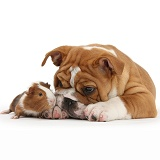 Bulldog pup and Guinea pig