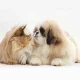 Pekingese pup and Guinea pig