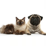 Fawn Pug, Burmese-cross cat and shaggy Guinea pig