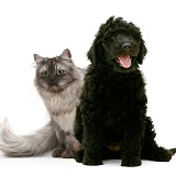 Persian x Birman cat and black Labradoodle