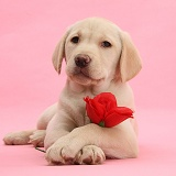 Yellow Labrador Retriever pup with a rose