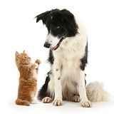 Black-and-white Border Collie and ginger kitten