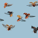 Harlequin Ladybirds in flight