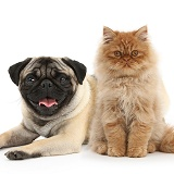 Ginger Persian kitten and fawn Pug