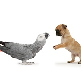 Playful Chihuahua pup meets Grey Parrot