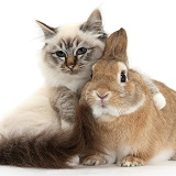 Beautiful Birman cat with arm over rabbit