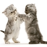 Smoke and silver Exotic shorthair kittens, play-fighting