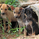 Stray puppies outside their drain pipe hide away