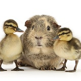 Guinea pig and Mallard ducklings