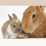 Flemish Giant Rabbit and baby rabbit