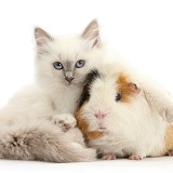 Blue-point kitten and Guinea pig