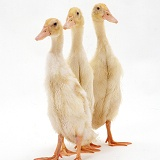 Two Indian Runner ducks, 4 weeks old