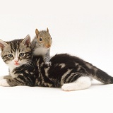 Tabby Kitten and Grey Squirrel
