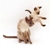 Siamese kitten trying to leap over his mum's head