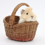 Baby Guinea pig in a wicker basket