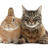 Elderly Tabby Manx-cross cat and rabbit