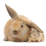 Young windmill-eared rabbit and matching Guinea pig