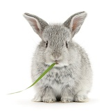 Baby silver rabbit eating grass