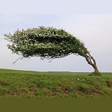 Wind-blown Hawthorn tree