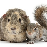 Young Grey Squirrel and Guinea pig