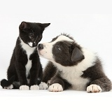 Black-and-white kitten and Border Collie pup