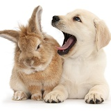 Yellow Labrador Retriever pup and rabbit