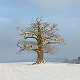 Ockley Oak - Winter 2012