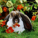 Butterfly English Lop rabbit eating a Nasturtium flower
