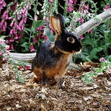 Black and tan buck rabbit among Foxgloves