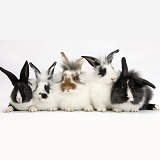 Five young Lionhead-cross rabbits