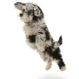 Black-and-grey Daxiedoodle pup, leaping