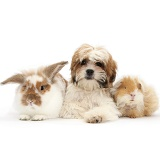 Maltese x Shih tzu pup with rabbit and Guinea pig